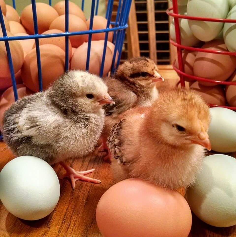 chicks eggs